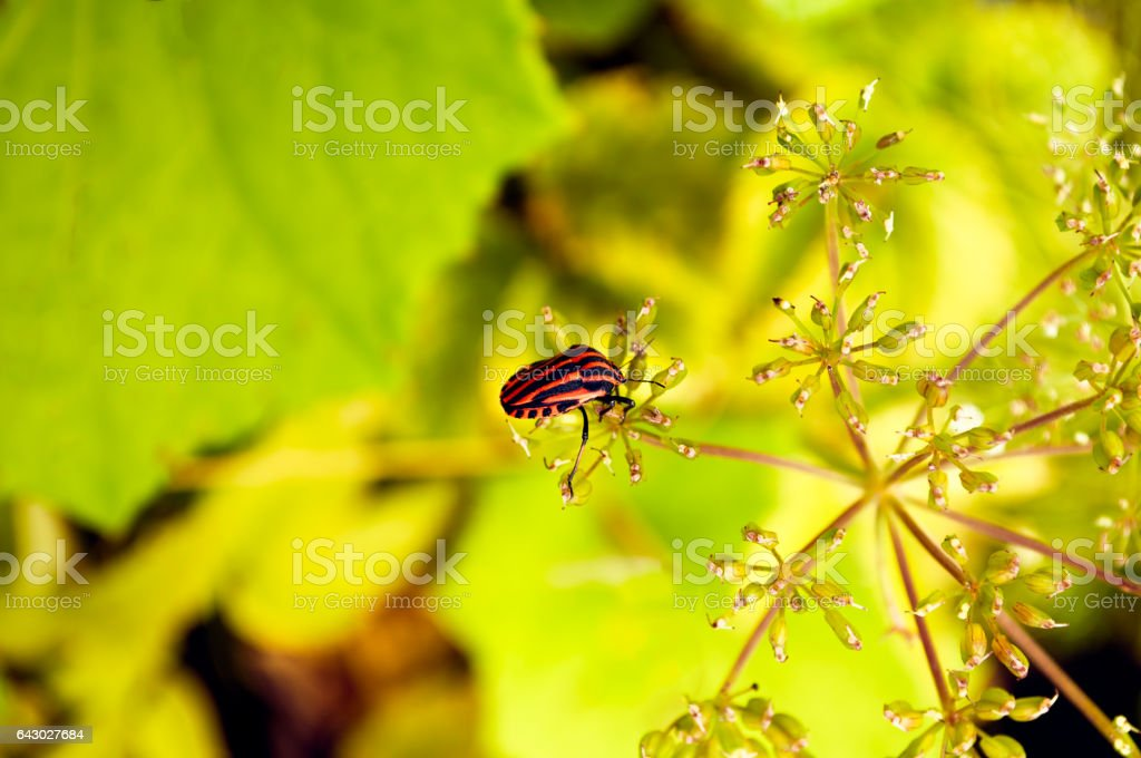 Graphosoma lineatum on foeniculum flower view from above yellow background stock photo