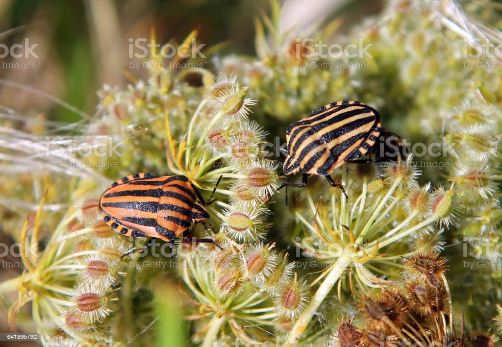 Graphosoma lineatum or Italian Striped-Bug (G. italicum) stock photo