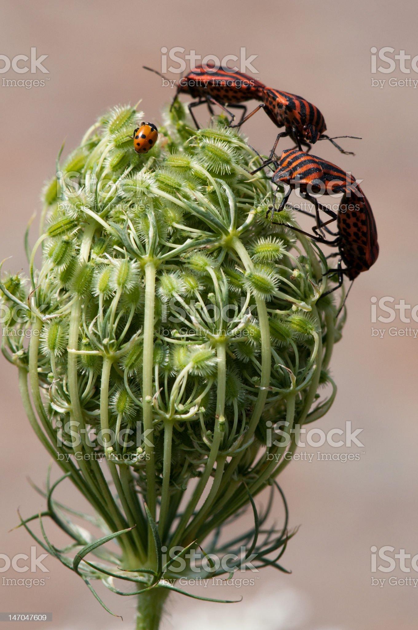 Graphosoma lineatum royalty-free stock photo