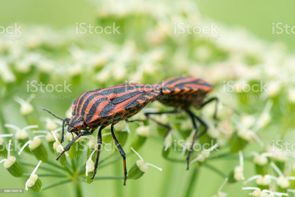 Graphosoma Lineatum. Shield bug, Macro. Shallow DOF. stock photo