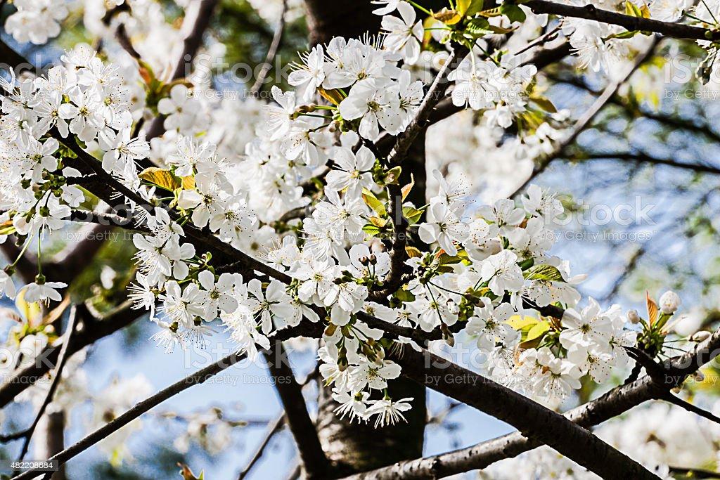 grappolo di fiori di pero stock photo