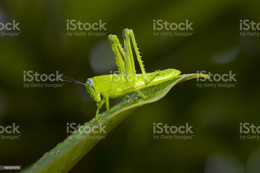 Grashopper on leaf after rain royalty-free stock photo