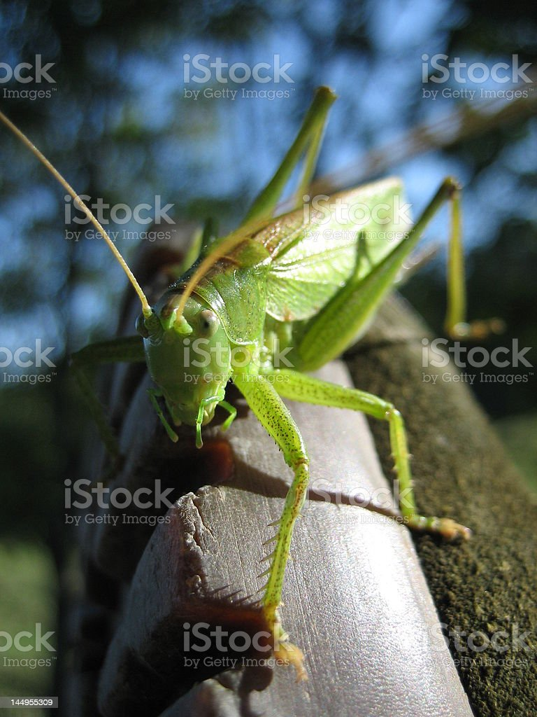 Grashopper royalty-free stock photo