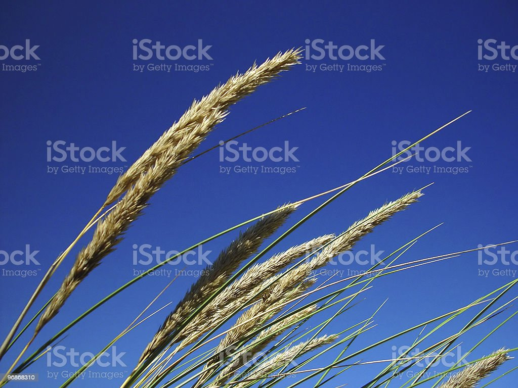 grass against blue sky royalty-free stock photo