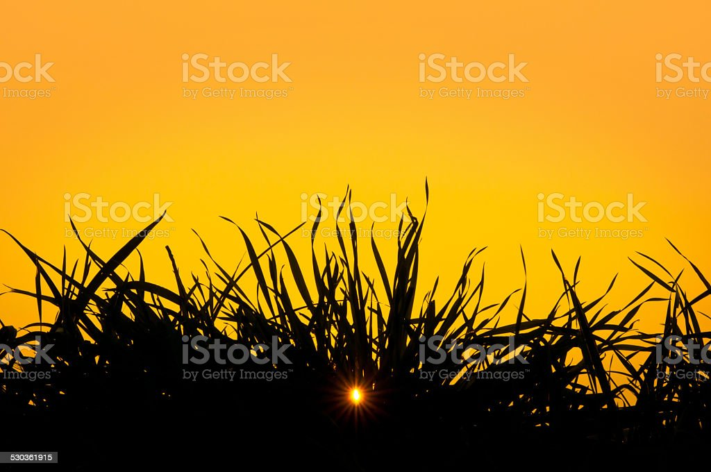 grass against the light at sunset and shining through sun stock photo