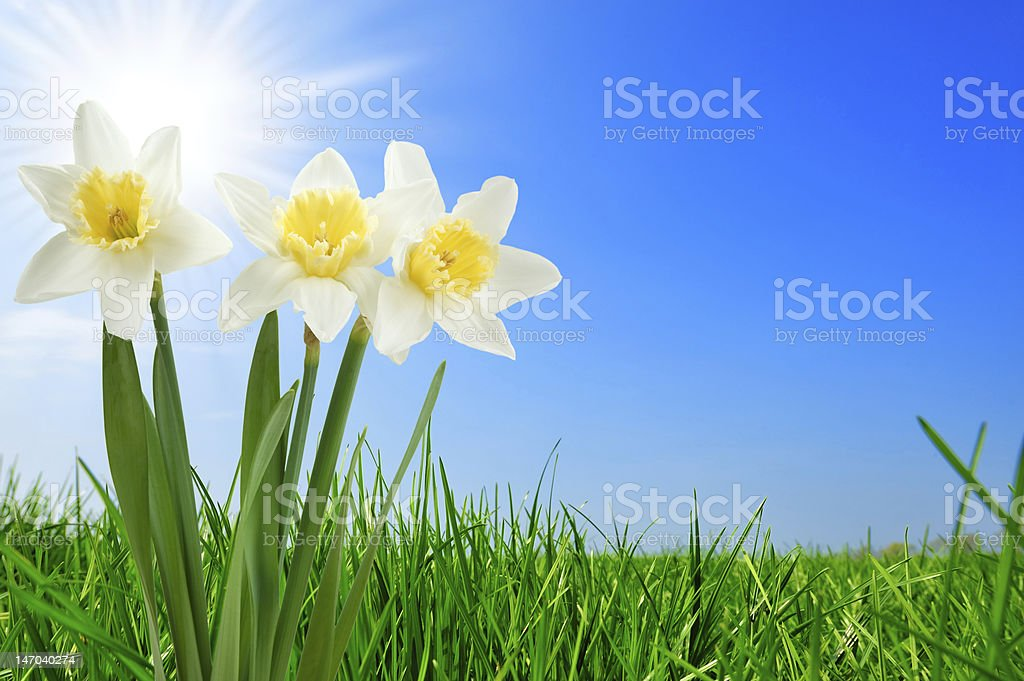 grass and beautiful narcissus royalty-free stock photo