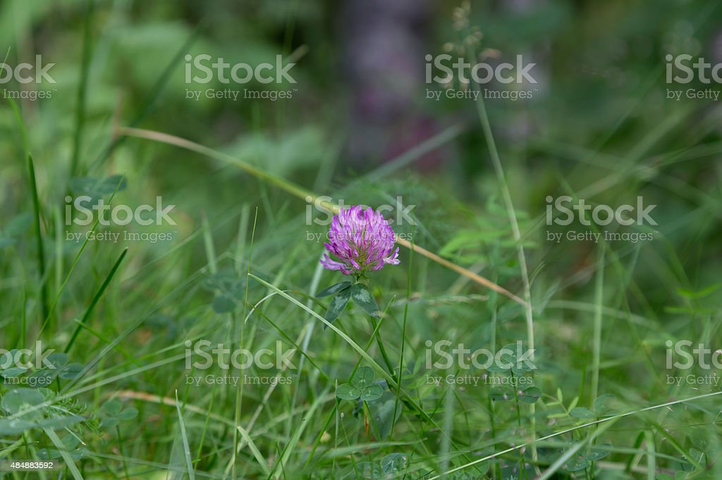 Grass and clover royalty-free stock photo