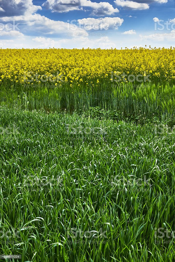 Grass and rape with sky stock photo