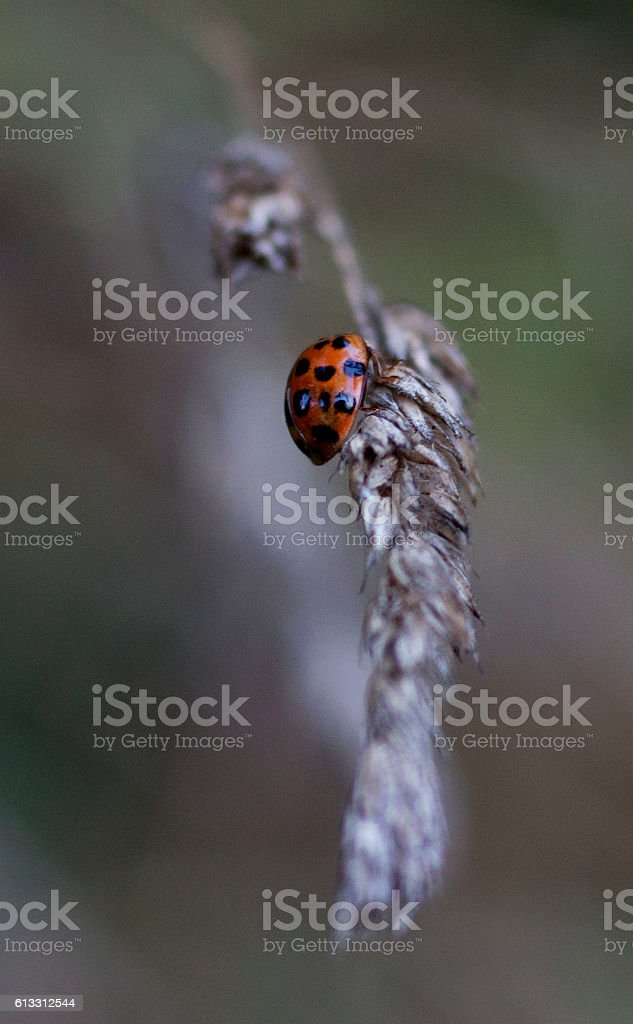 Grass and the ladybird stock photo