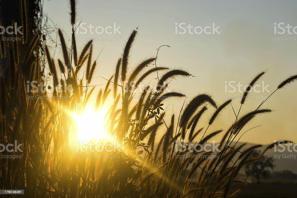 Grass at summer sunset royalty-free stock photo