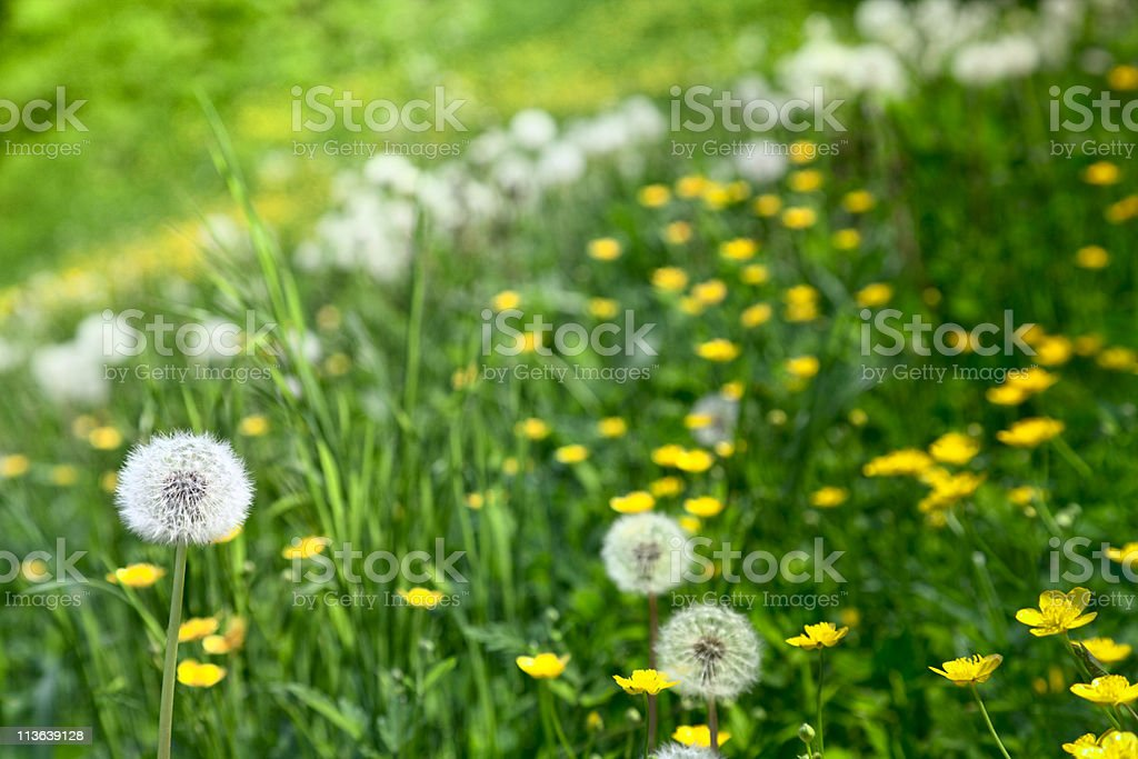 Grass background with dandelion stock photo