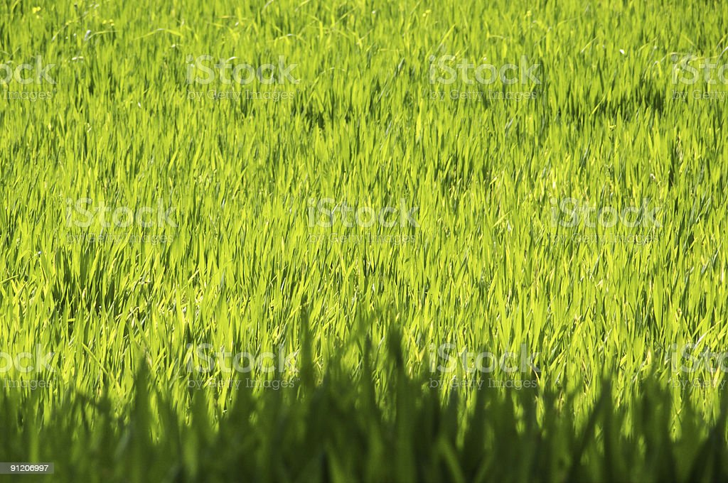 Grass backgrounds royalty-free stock photo