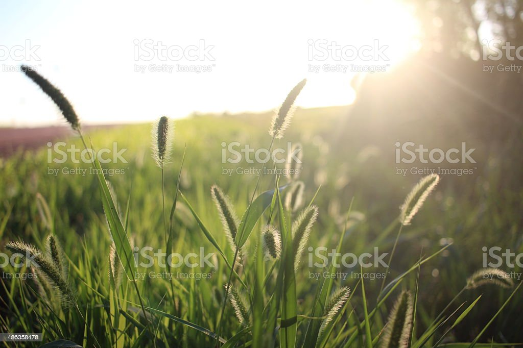 Grass Blowing in the Wind stock photo