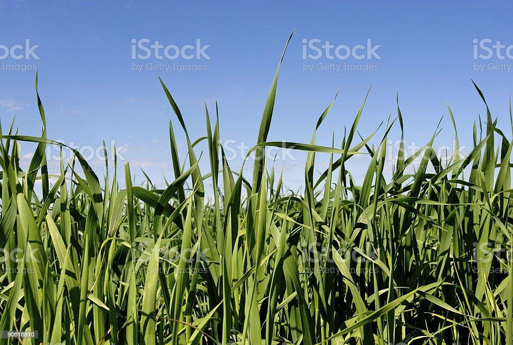 Grass & Blue Sky2 stock photo