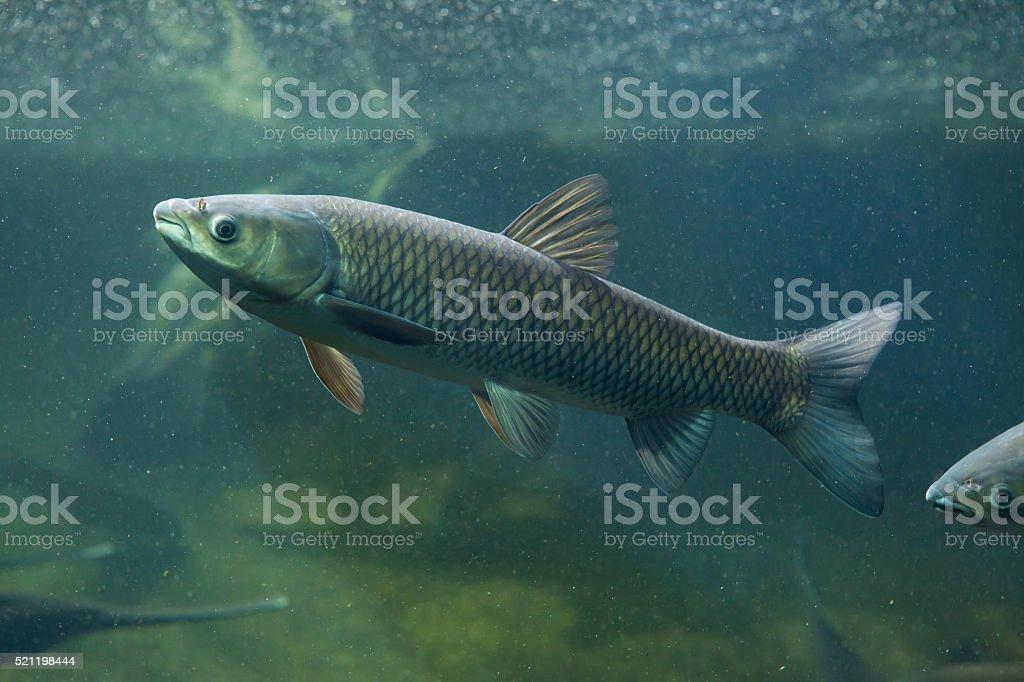 Grass carp (Ctenopharyngodon idella). stock photo