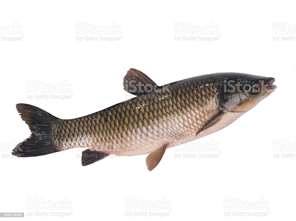 grass carp stock photo