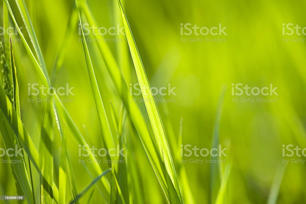 Grass close-up royalty-free stock photo