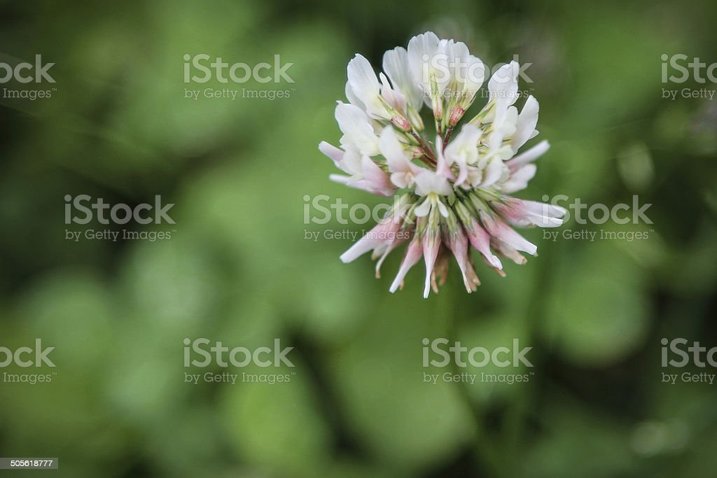 grass clover with white small flowers with grass behind, stock photo