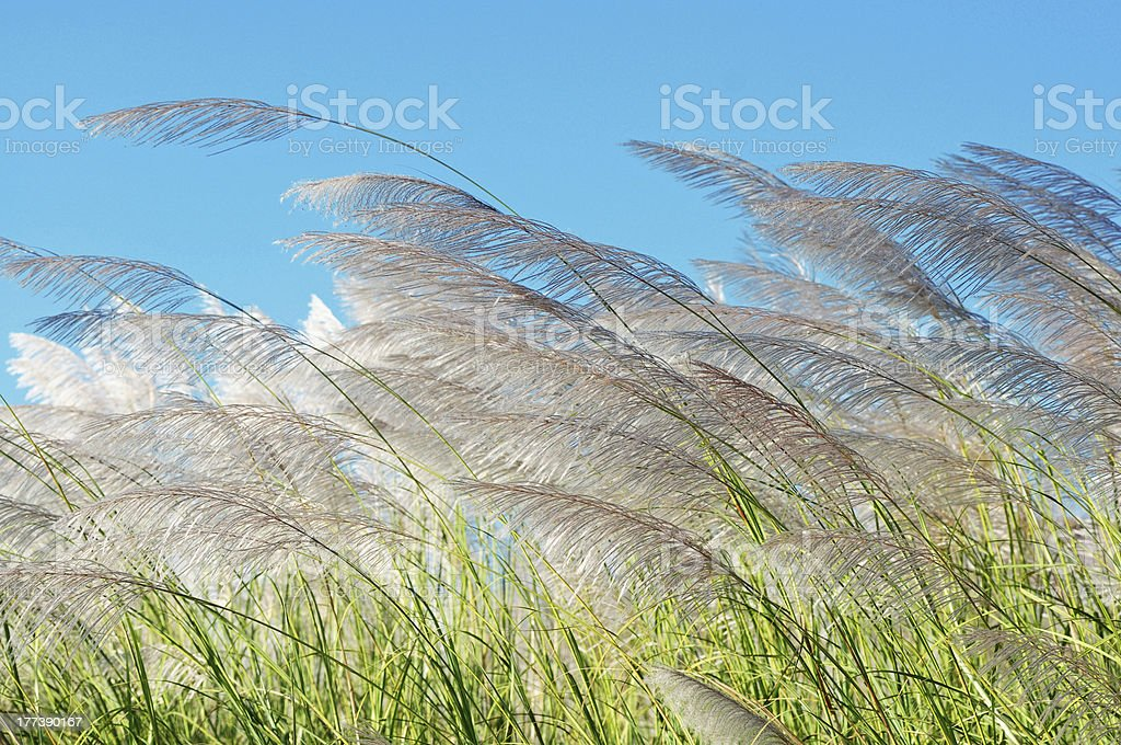 grass declined under a wind against blue sky royalty-free stock photo