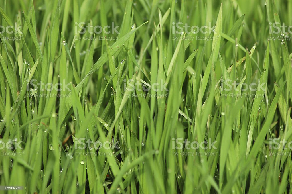 Grass dew royalty-free stock photo