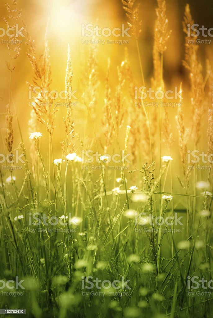 Grass during sunset royalty-free stock photo