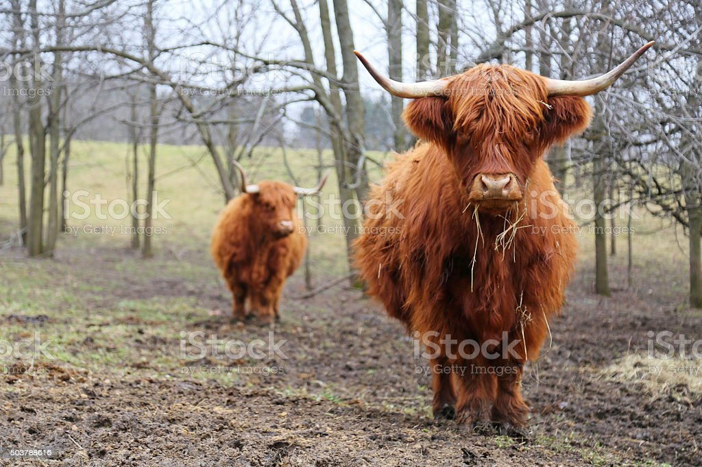 Grass fed beef in pasture stock photo