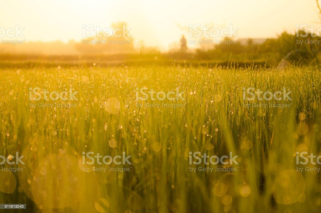 grass fields and sunrise stock photo