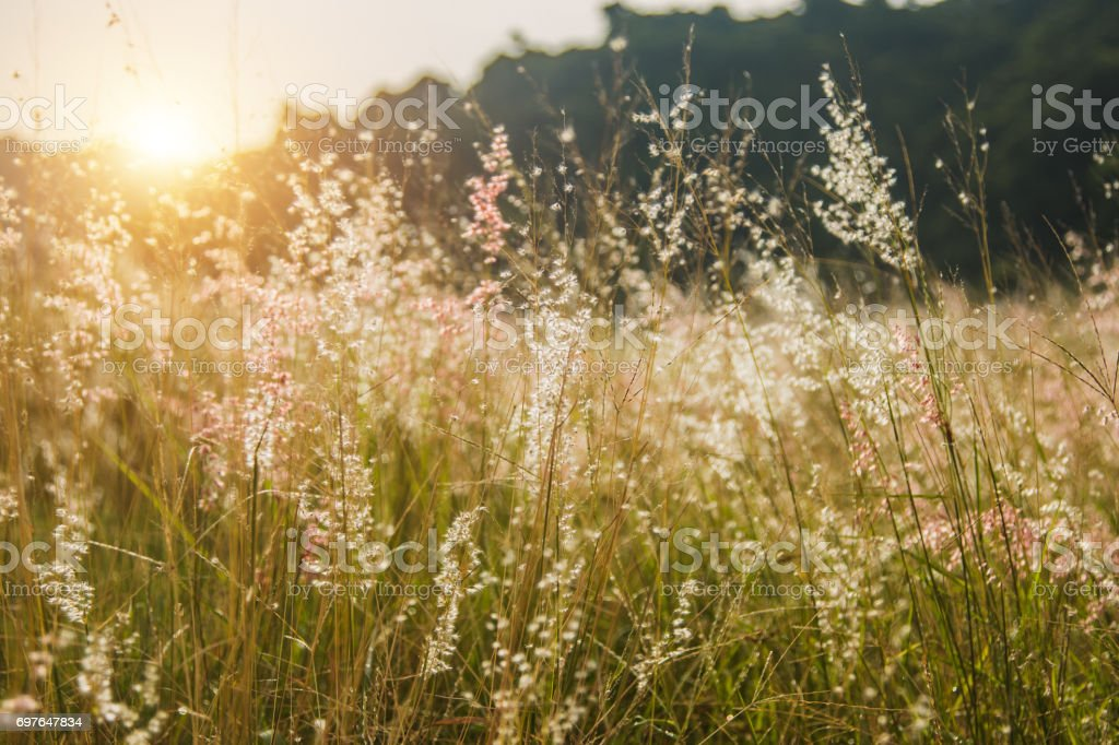 Grass flower in nature when the wind blows stock photo