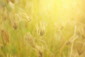 grass flower in soft tone of sunlight background