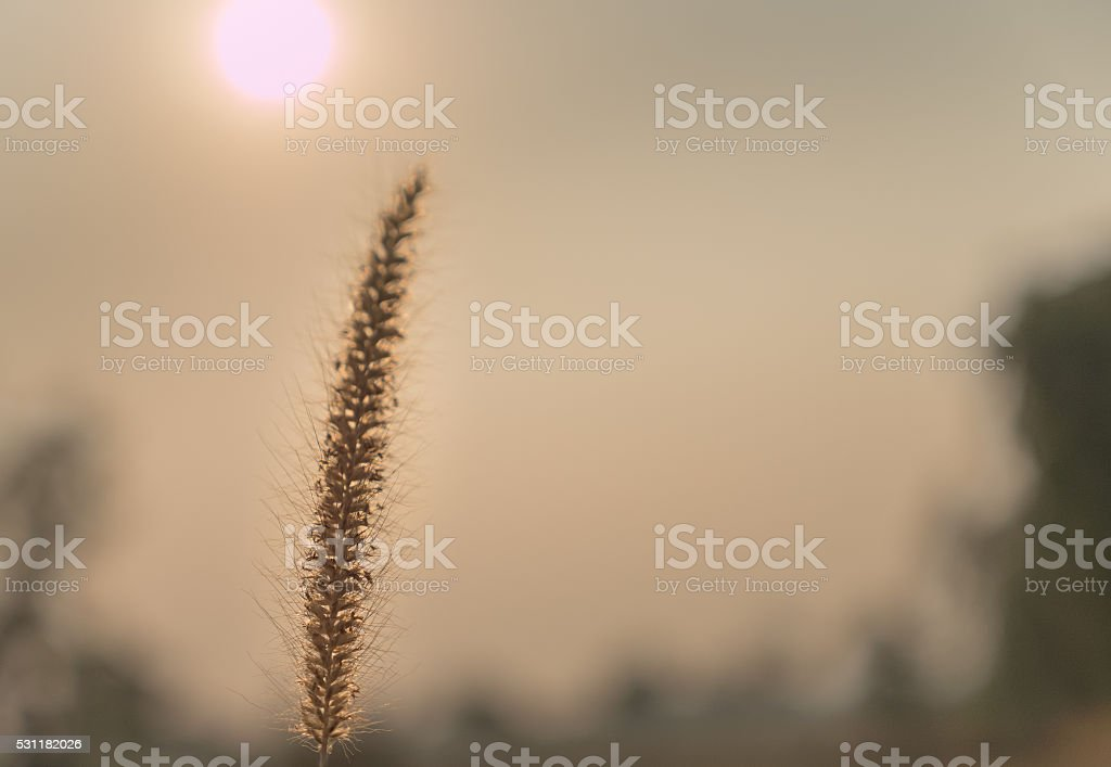 grass flower on sunset time stock photo