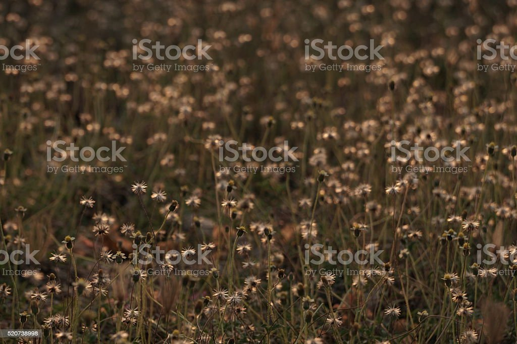 Grass flower royalty-free stock photo