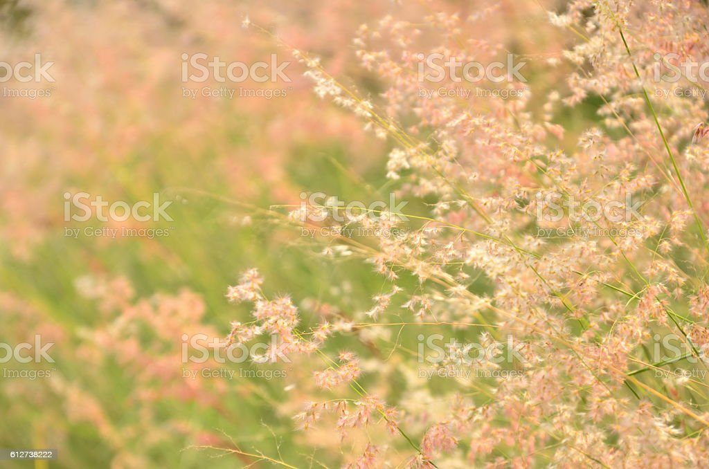 grass flower stock photo