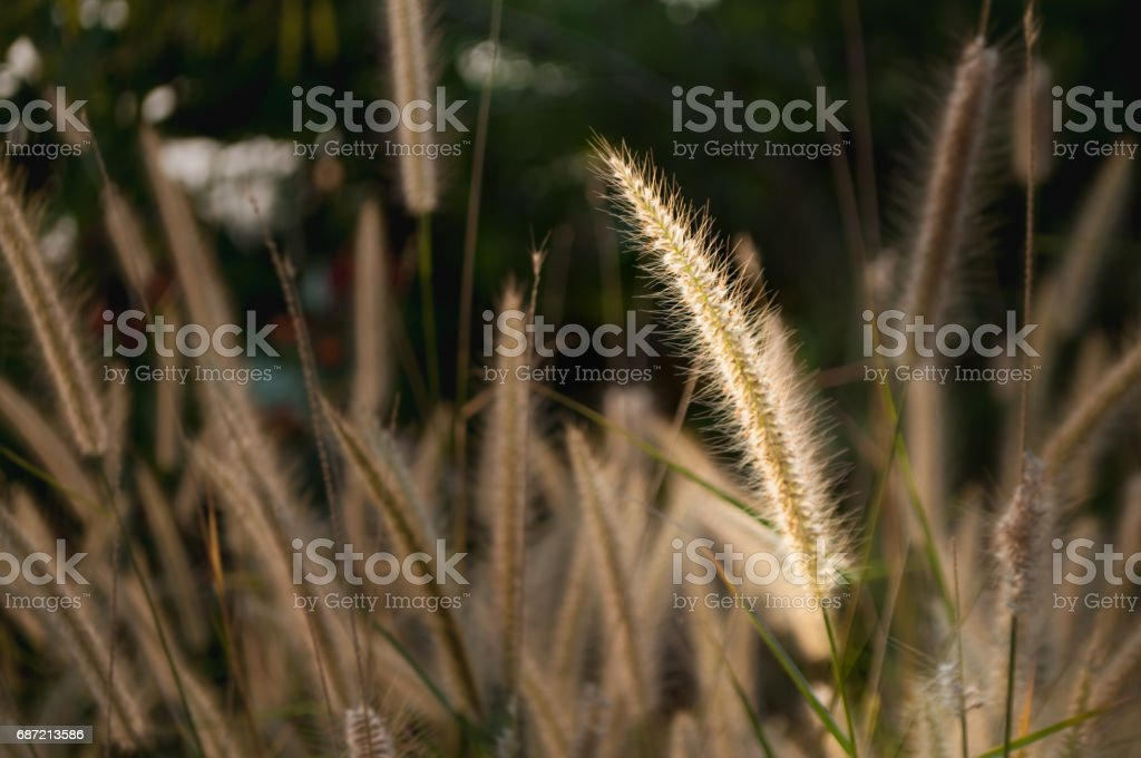 grass flower touched by sunlight stand out from others stock photo