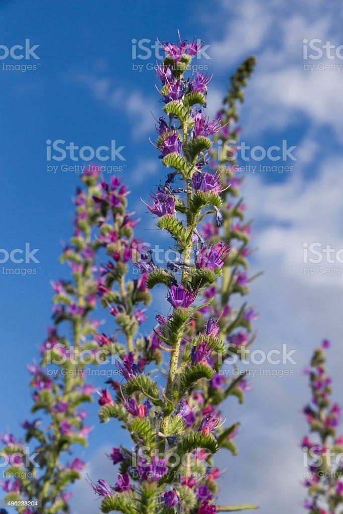 Grass flowers Echium Vulgare - Flores de Hierba Echium Vulgar stock photo