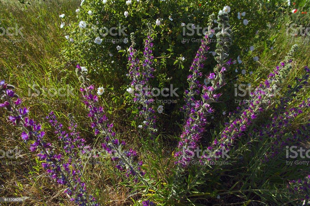 Grass flowers Echium Vulgare - Flores de la Hierba Echium stock photo