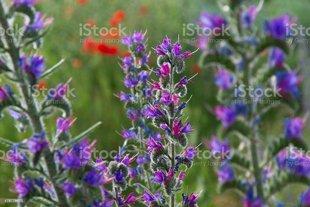Grass flowers Echium Vulgare - Flores stock photo