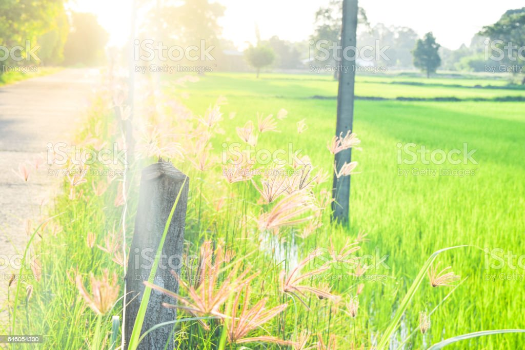 grass flowers near Rice field road with sunset stock photo