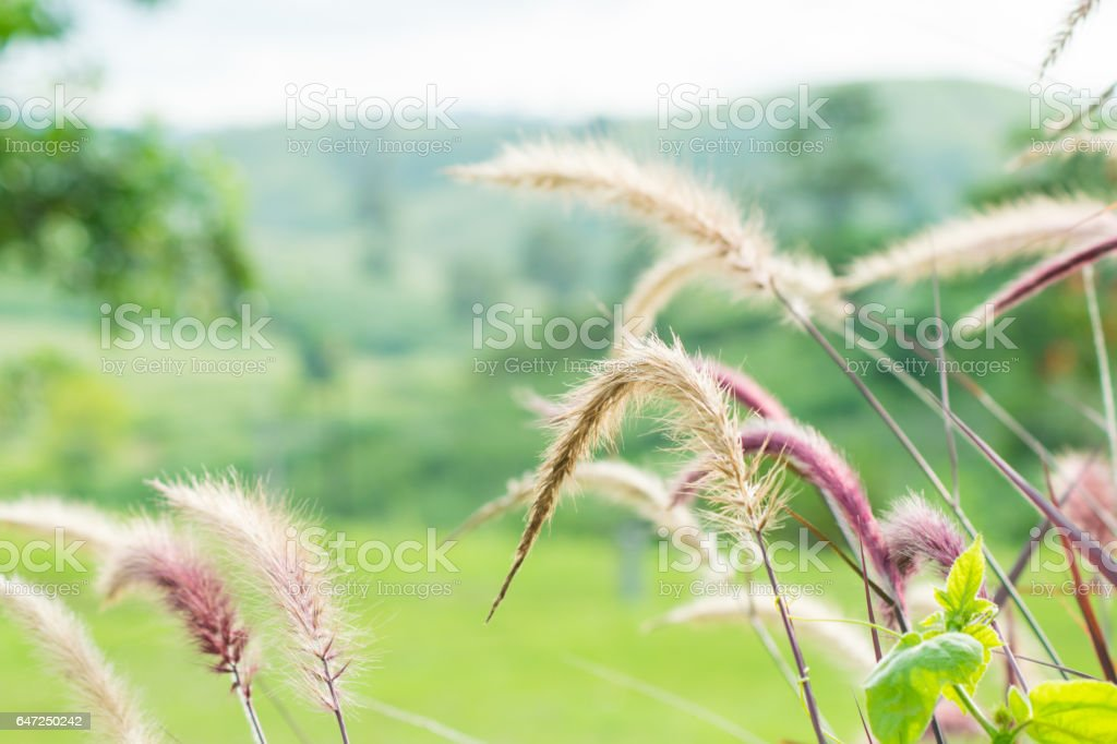 grass flowers with mountain view stock photo