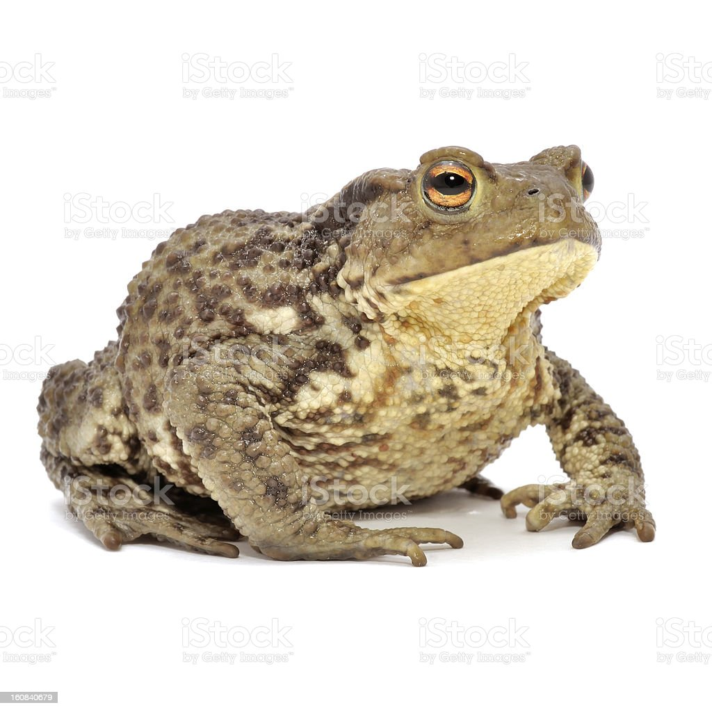 Grass Frog Close-Up Isolated on White Background stock photo