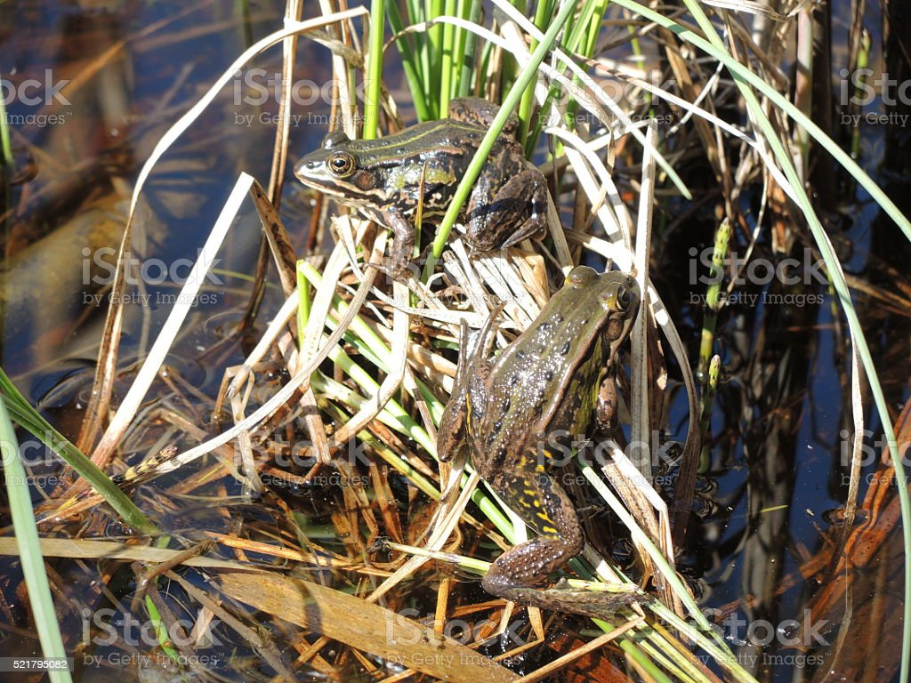 Grass frogs stock photo