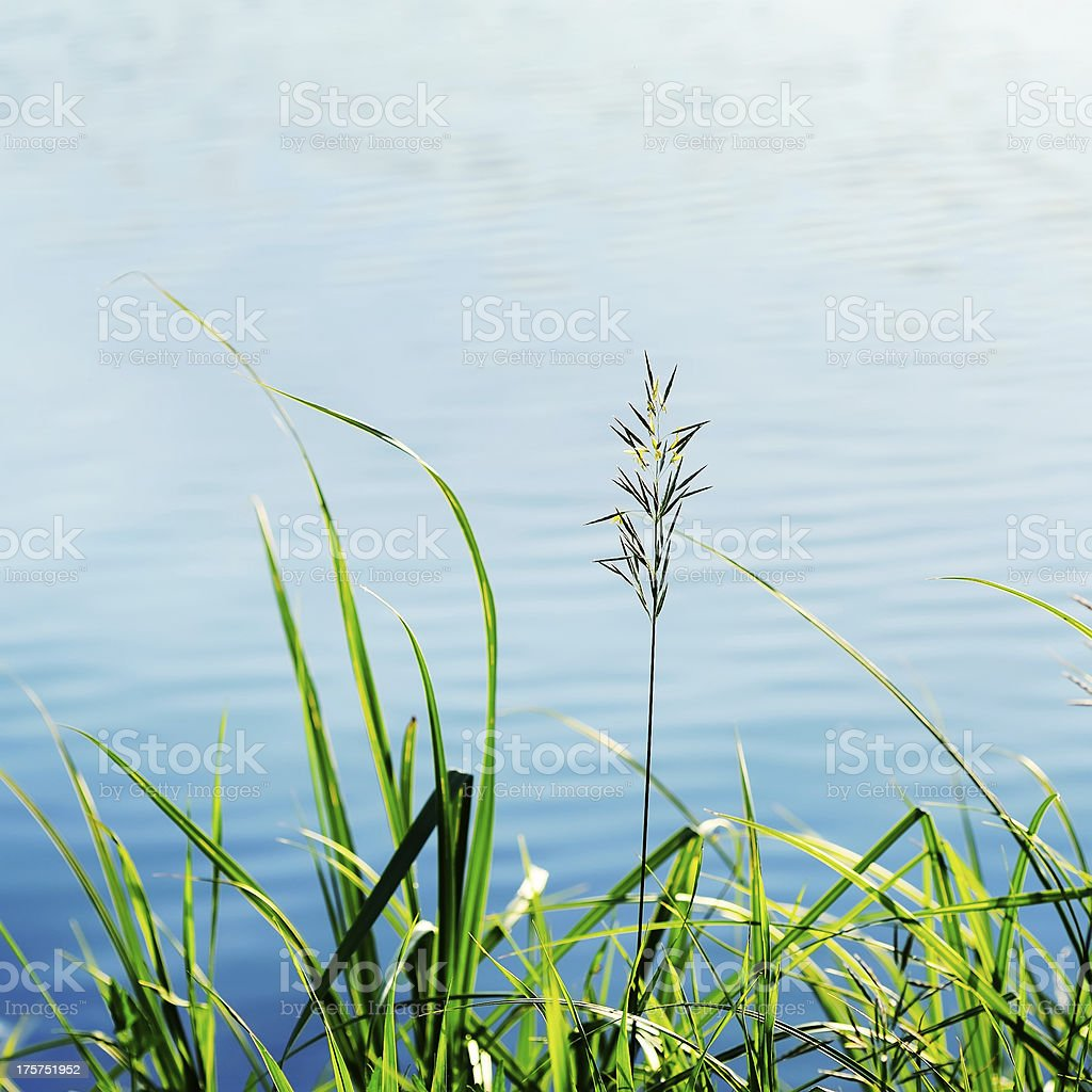 grass growing at the shore royalty-free stock photo