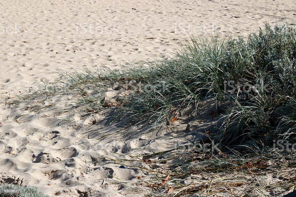 Grass Growing in Sand at Beach stock photo