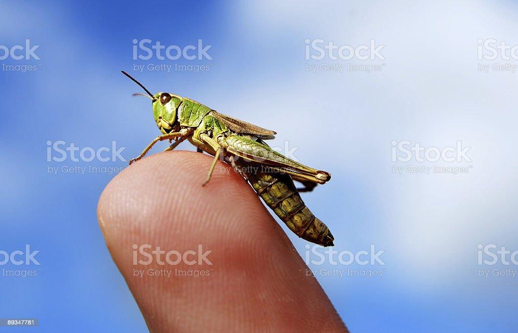 Grass hopper on finger royalty-free stock photo