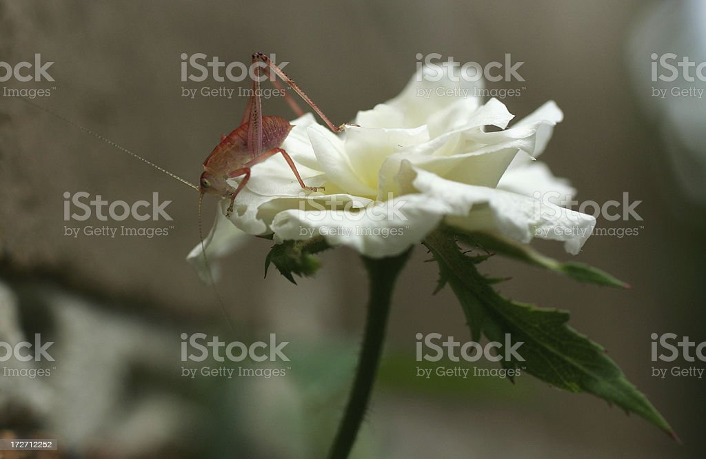 Grass Hopper on Rose royalty-free stock photo