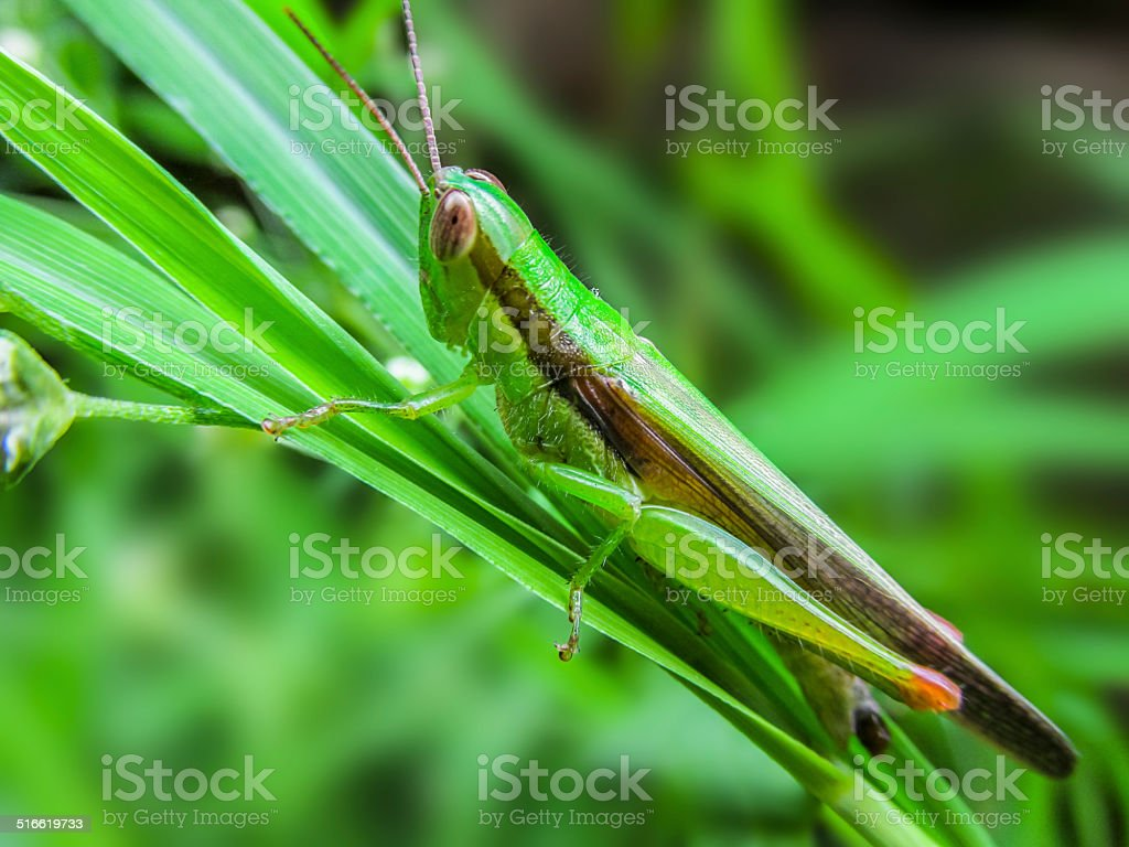 Grass hopper stock photo