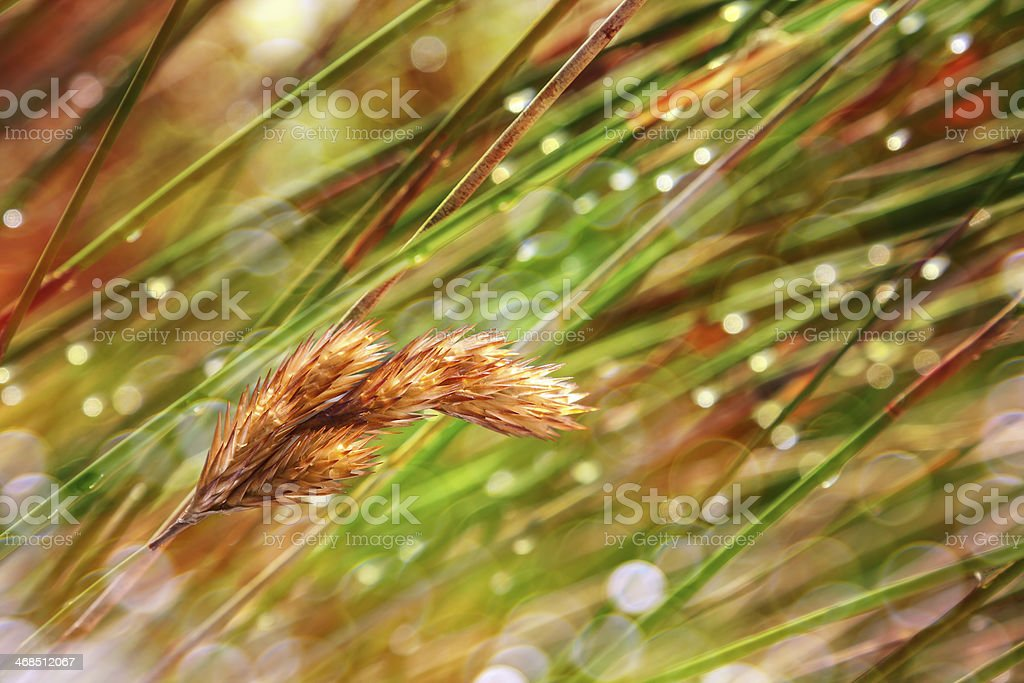 grass husks royalty-free stock photo
