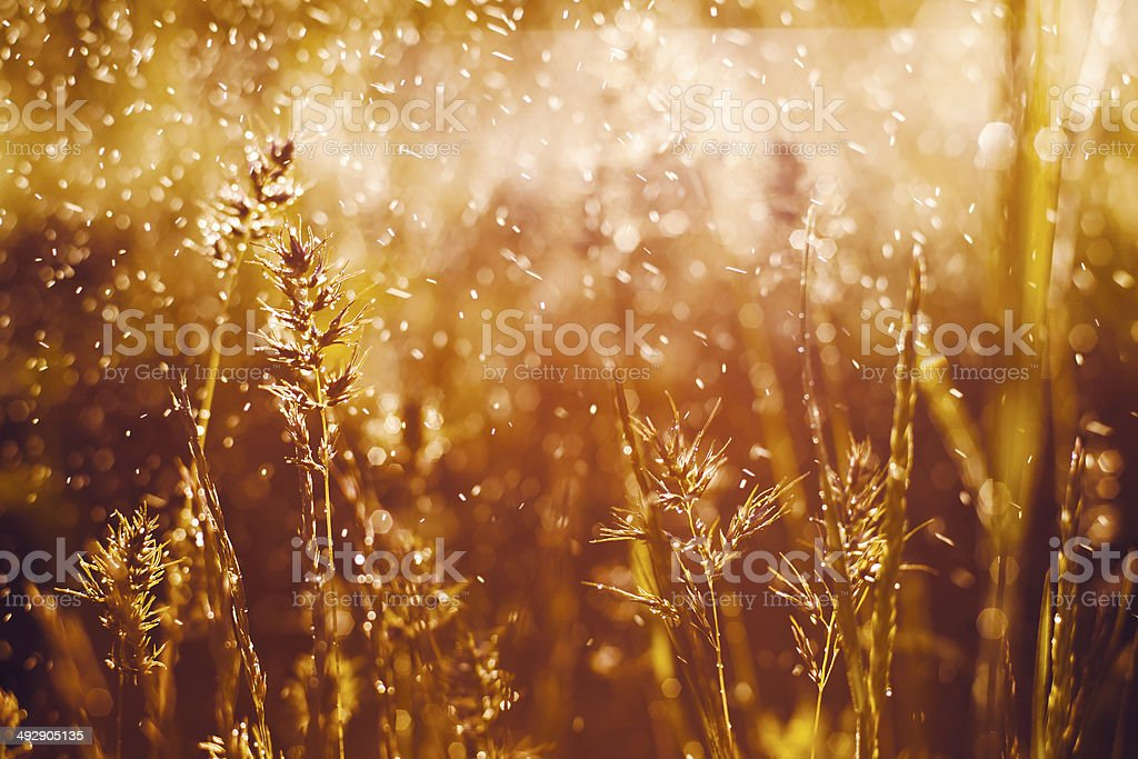 grass in dew royalty-free stock photo