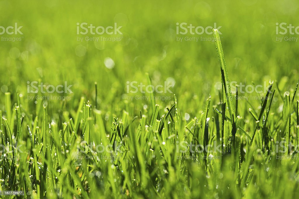 Grass in spring morning royalty-free stock photo