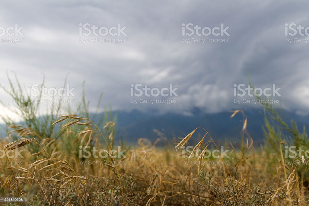 grass in the steppe stock photo