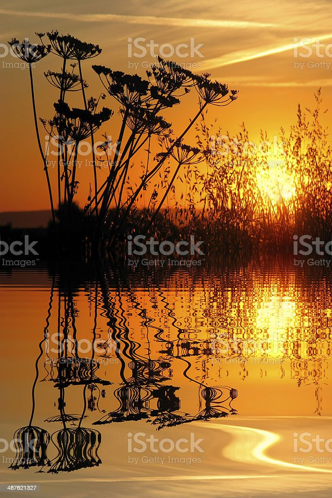 Grass in the sunset above water with reflection royalty-free stock photo